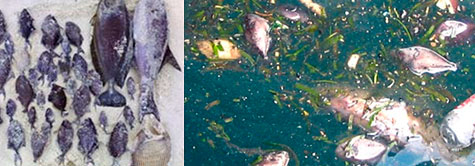 Dead fish on beach of a resort in Ari Atoll and dead reef fish in the inner habour of Malé.
