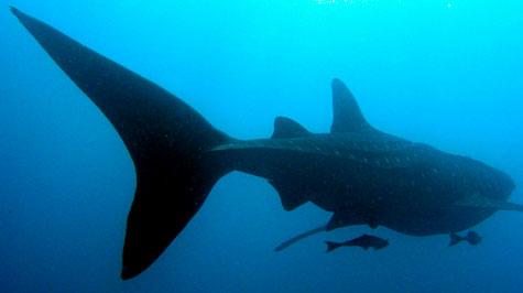 whale-shark2.jpg