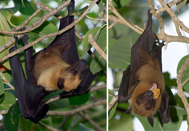 bat eating fig