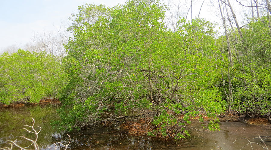 This Black Mangrove swamp get inundated with salt water during periods of storm or tidal surges. Its tolerance to salt spray, salinity and wind is poor and it prefers relatively higher elevation than other mangrove plants.