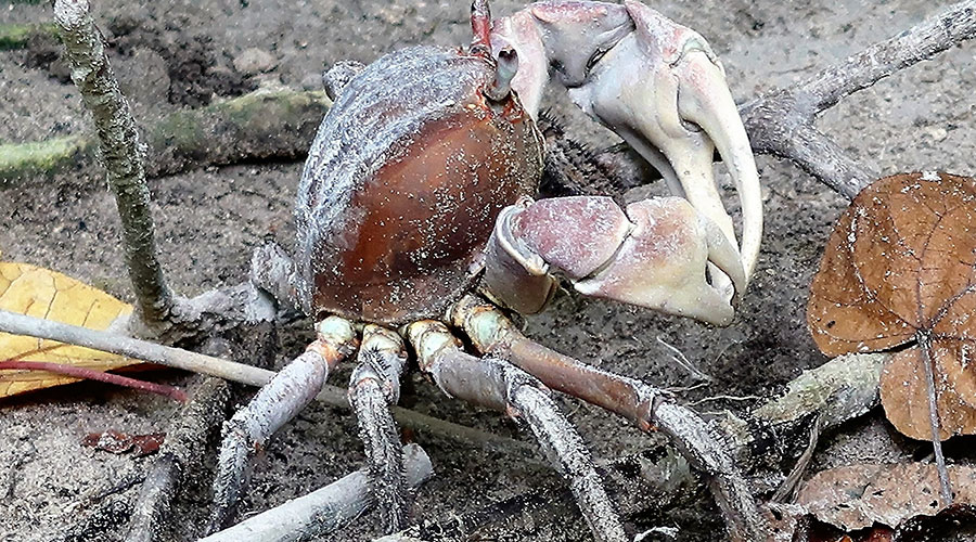 In many mangroves a large proportion of the leaf litter is directly consumed by crabs, particularly those in the family Sesarmidae. This dramatically accelerates the incorporation of mangrove biomass into the food chain.
