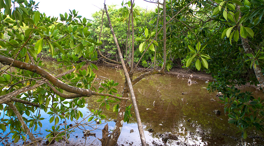 In Maldives, a total number of 13 true mangrove species are present and belongs to carbonate setting type and found in four different environmental conditions.