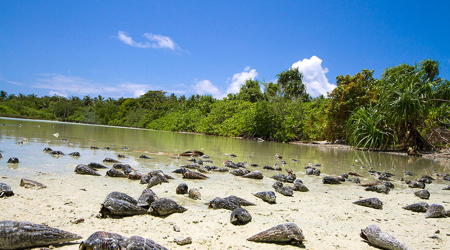 Mangrove mud snails and crabs exist in large numbers in the Tidal Mangrove Swamps in Filladhoo. During low tide, thousands of mangrove mud snails and crabs eat quantities of mud, and discard sand silt. In fact, these mud-dwellers are good pickings for fish, birds and the local people.
