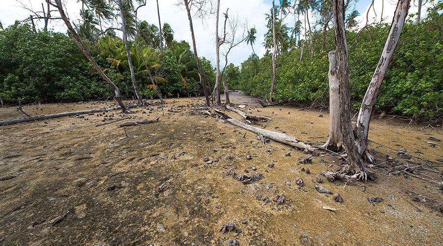 Bruguiera cylindrica (Kan'doo) swamp in Filadhoo filled with sand with dead mangrove tree.
