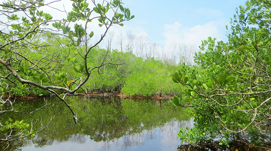 Black Mangroves (Burevi) in Neykurandhoo is found around water bodies where soil salinity is low.