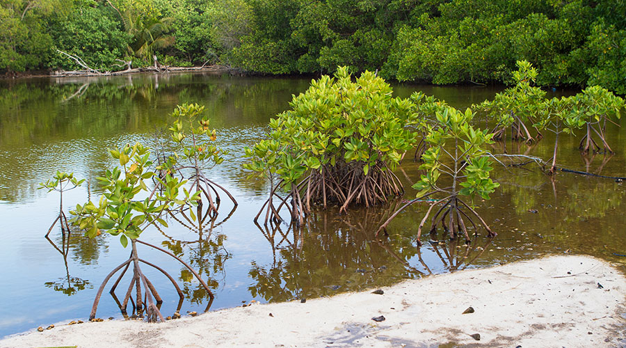 Red mangrove (Rhizophora mucronata) local know as Ran'doo is the most common mangrove plant found on the tidal mangrove swamp in Fihladhoo.