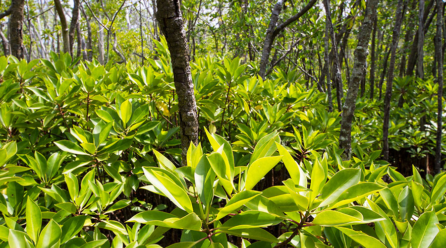 Bruguiera cylindrica (Kan'doo) is the most dominant species of mangroves found in Neykurandhoo