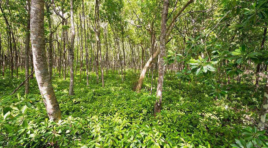 Bruguiera cylindrica (Kan'doo) found either as a dominant or co-dominant species in many of the mangrove ecosystem of the Maldives. It also found in the form of pure stands. A large number of young seedlings are found growing in the areas wherever this species is dominant.