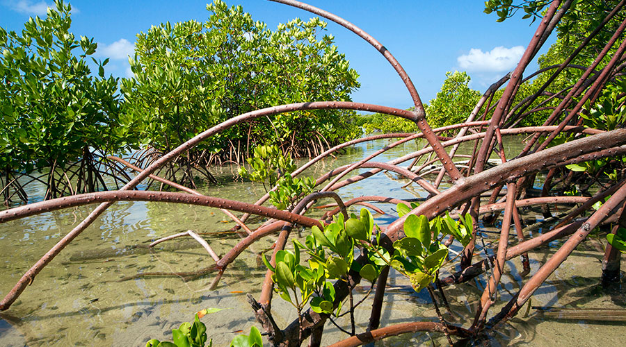 Mangrove forests play vital roles in resisting extreme events, and protecting coastline. Islands with mangrove ecosystems tamed furious waves of 2004 Asian Tsunami before hitting the settlements, where the power of tsunami was absorbed by layers of different types of dense mangroves and through crab holes.