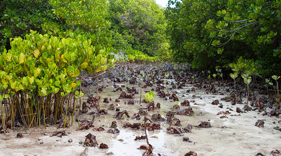 There is no comprehensive scientific management of mangroves and conservation policies in Maldives, Hence, it vital to establish a proper mangrove management regime to sustainably exploit mangrove ecosystem products and services.