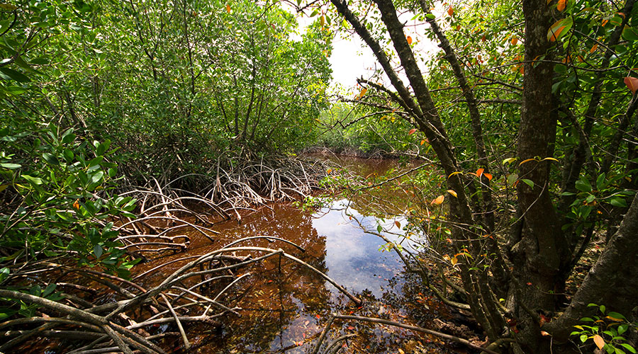 In fact, the same mangrove swamps and wetlands near the coast can be more efficient as a carbon sink than most terrestrial forests.