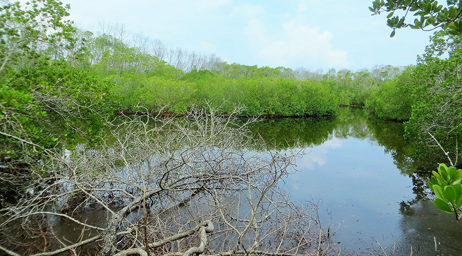 Black Mangrove (Lumnitzera racemose), locally known as  Burevi  is found along the two swamps in Neykurandhoo.